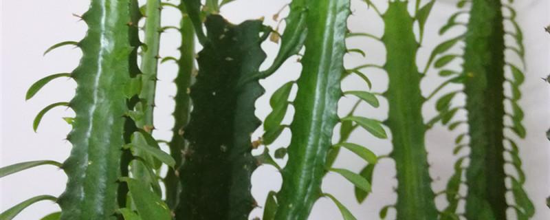 龙骨花黄叶的原因和处理办法