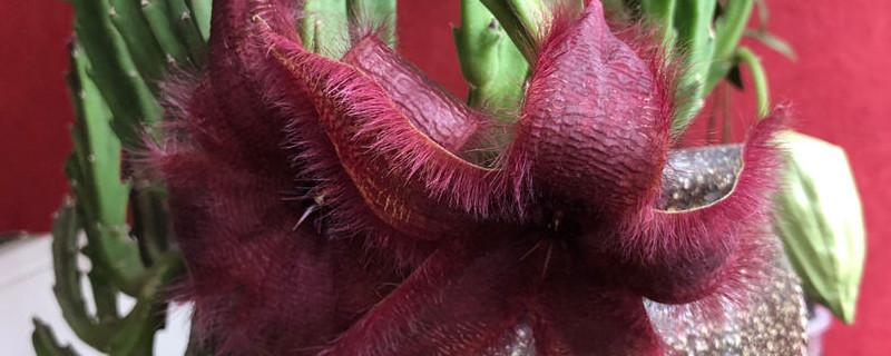 大花犀角施肥方法