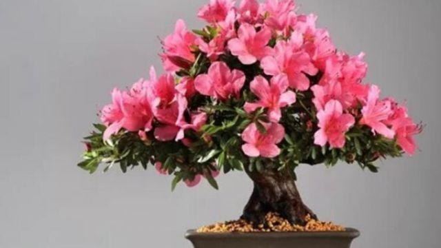 能养成高价盆景的花,在家养几年,价格翻10倍!