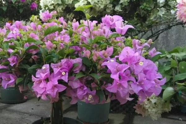 养花就要下狠手,撸光杆,使劲掐,俩月开成大花树!