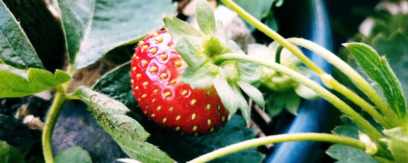草莓盆栽病虫害防治