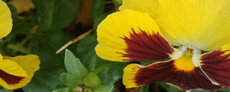 角堇穴盘苗病虫害防治