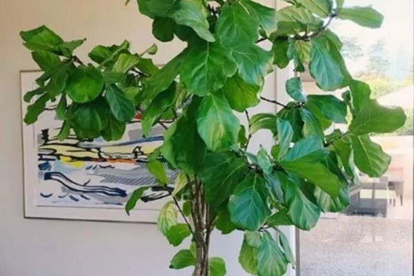 这棵守家树,摆客厅能长2米高,霸气又镇宅!