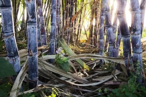 甘蔗棒子插土里,7天冒芽,来年窜到房顶高,吃不完!