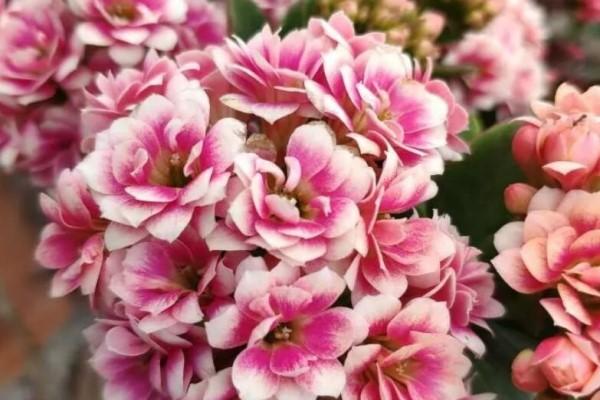 这3种花超耐旱,半个月不浇水,反而开花更多!