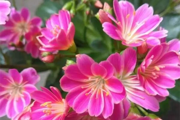 多肉一开花就死?未必!越开花越美就是它!