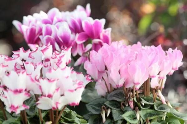 冬天最爱养这花,一开4个月,真怕累坏它!