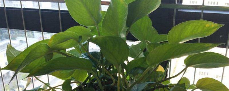 蚊香灰可以用来养花吗