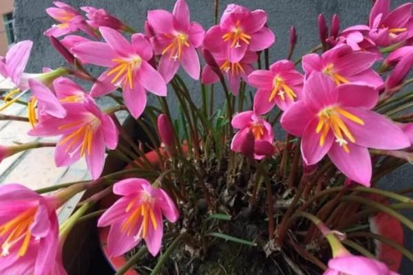 家里有这花,赶紧掐叶子、剃平头,剪完立马冒花苞!