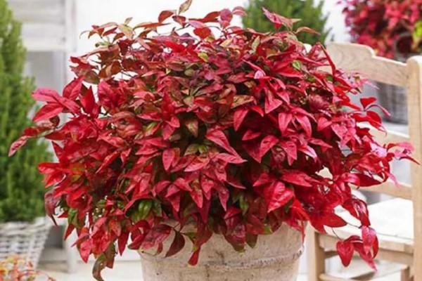 不怕冷的花,越冻越好看,红红火火最旺家!