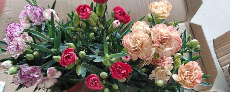 康乃馨的花香对人身体有什么影响