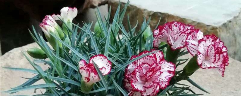 康乃馨和什么花搭配香