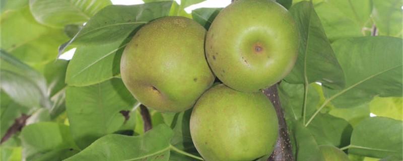 阳台如何养梨树