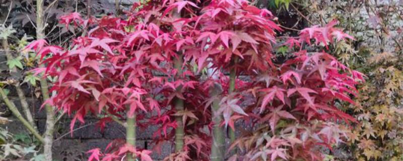 日本红枫一般多高