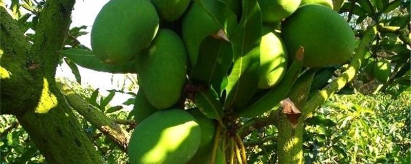 芒果树嫁接技巧