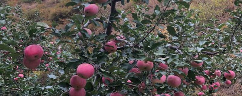 天水红富士苹果介绍