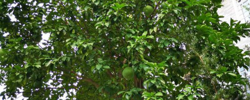 红色柚子和白色柚子有什么区别