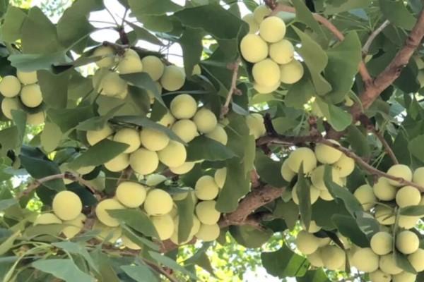 路边捡一把种子,丢盆里长成发财树,越养越值钱!