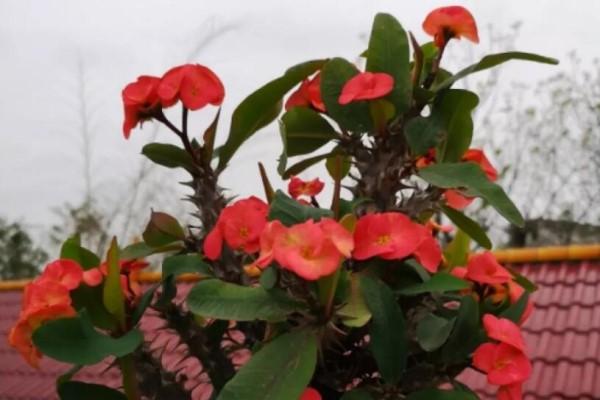 冬天养4种花,冰天雪地也在开,越冷花越多、香味越浓!
