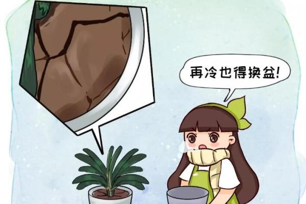 土硬的抠不动,再冷也得换盆,否则花活不过冬天!