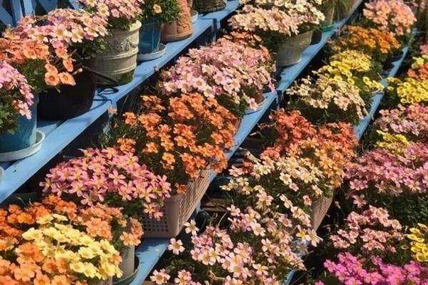 比绿萝好养的花,一开花挤满小阳台,100盆都不嫌多!