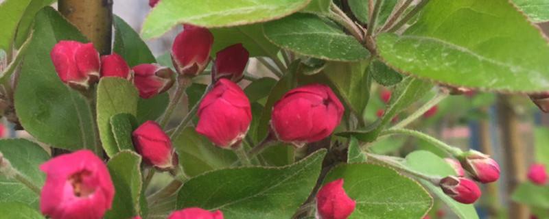 海棠盆景几月份落叶
