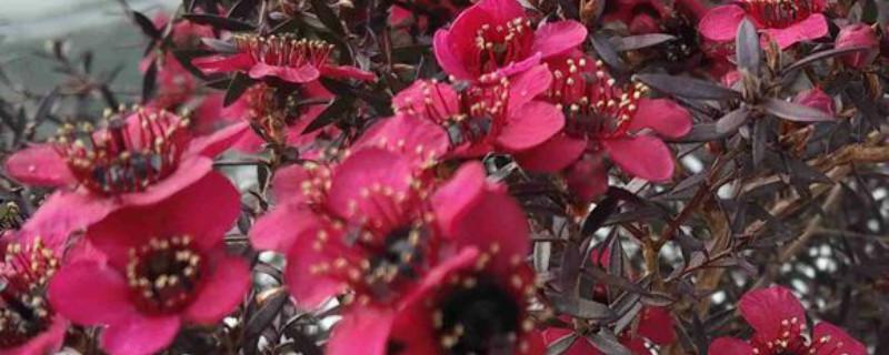 红梅盆景几月份落叶