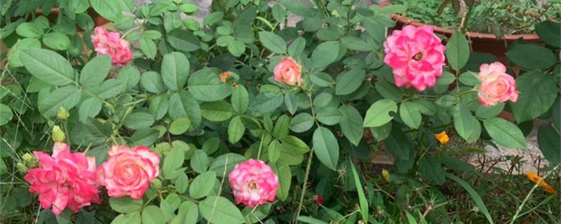 月季的主要病虫害及其防治方法