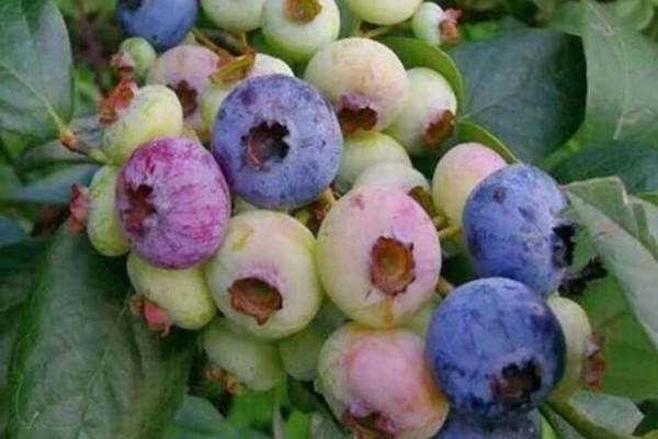 天冷就养它,冻完开花结果子,明年丰收一大盆!
