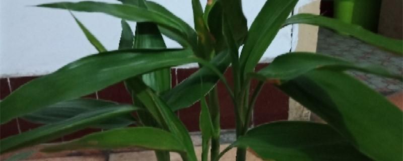 室内竹子品种有哪些