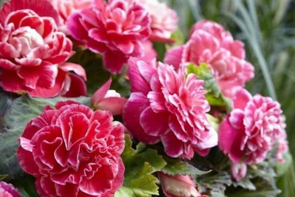 家里养这花,盆越小、花越大,摆在客厅上档次!