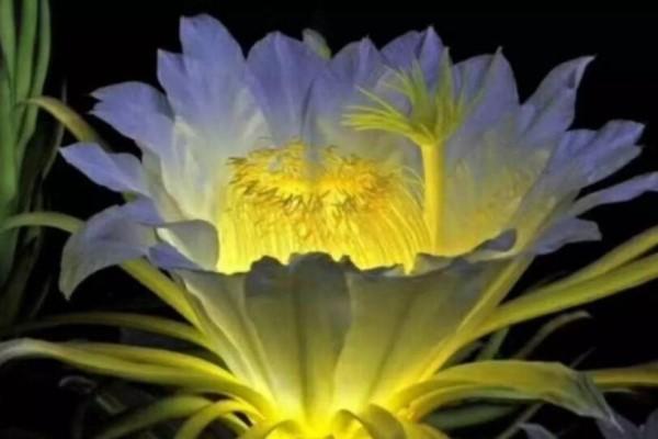 """这种有""""灵性""""的花,一夜开了86朵,见者皆有好运!"""