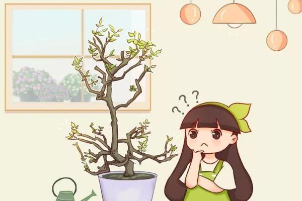 这花不能养太老,越老越不爱开花,最后变成木疙瘩!