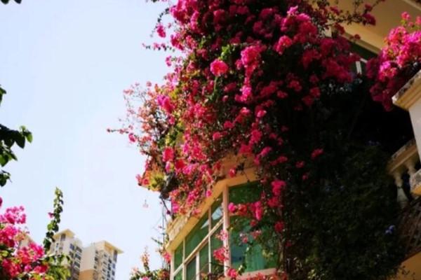 冬天这么冷,他家的花全开了,三角梅长到房顶!