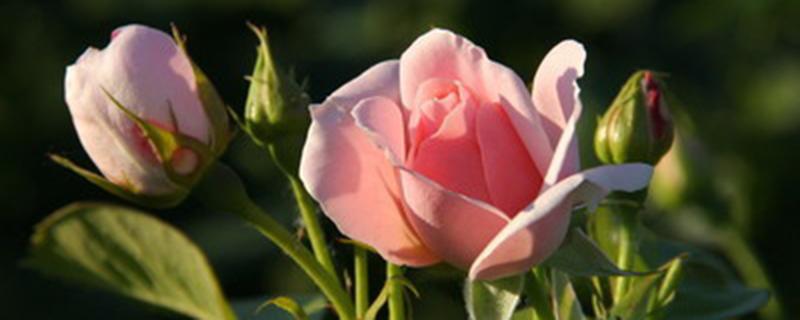 粉色玫瑰代表什么