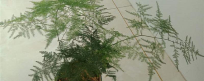 冬天文竹的养殖方法和注意事项
