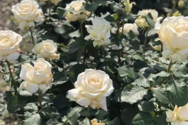盆里埋点它,1根枝冒20朵花,来年越开越爆盆!