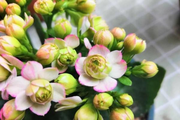 长寿开花不过瘾,学会1招,让它爆开1000朵!