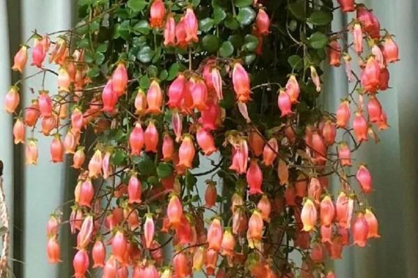 这种长寿花,一定要吊起来养,开花像瀑布!