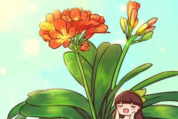 13年的君子兰,不换盆不换土,年年上肥就开花!