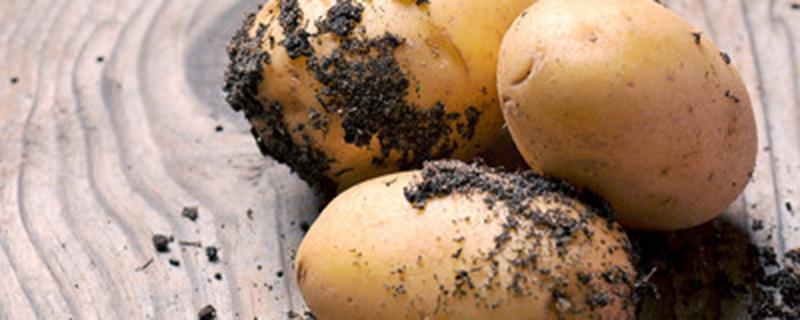 土豆是根还是茎还是果实