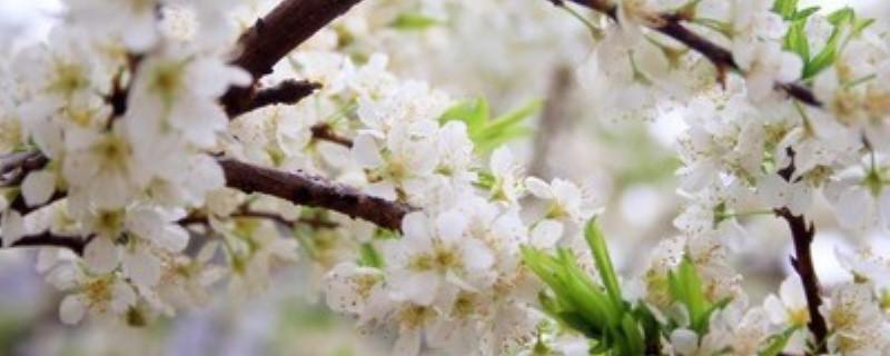 绿梅花与绿萼梅区别