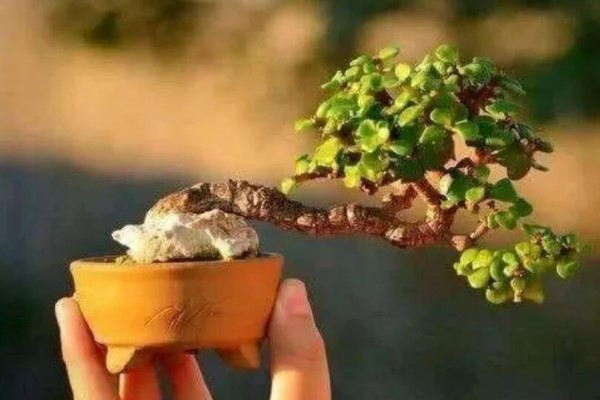 金枝玉叶拔起来养,造型最惊人,身价能翻100倍!
