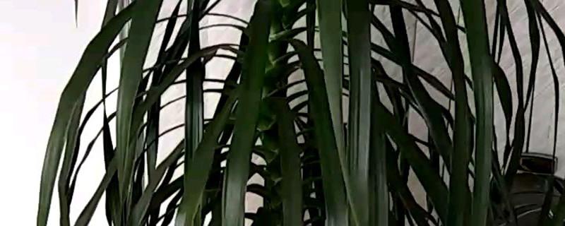 龙血树能开花吗,花后怎么处理