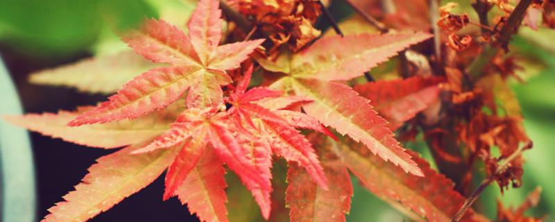 红枫盆栽冬季怎么养,能在室外越冬吗