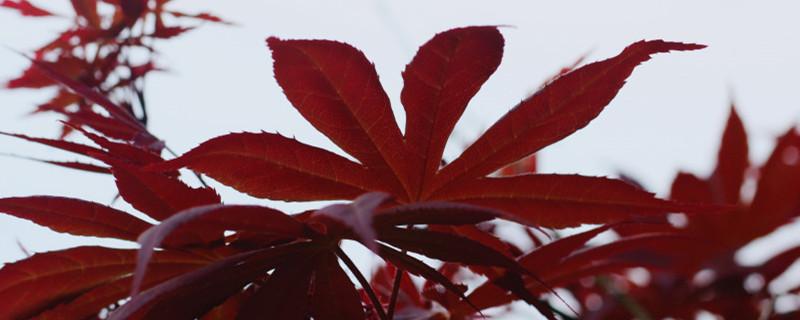 红枫叶子变绿怎么回事,怎么解决