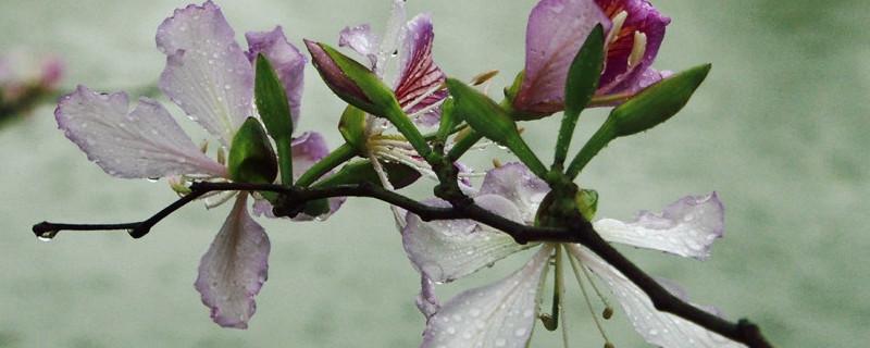 草本紫荆花怎么种植,土质是酸性还是碱性好