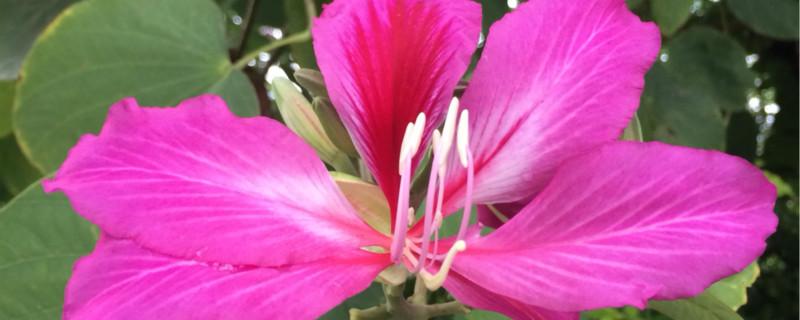 紫荆花的花期有多久,如何养护