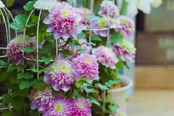 现在种下这棵花,一天能长一指高,2个月开出一面花墙!