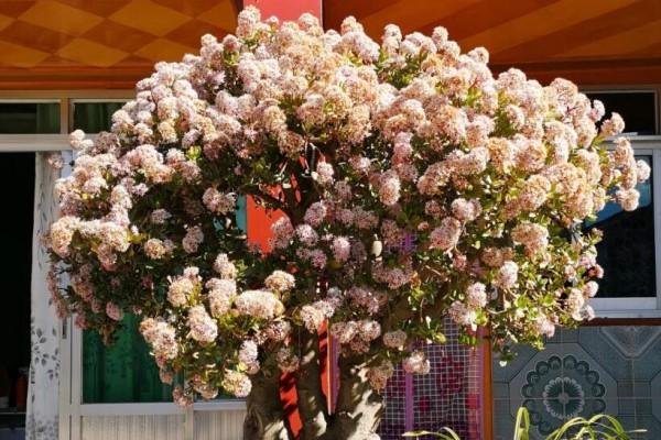 19年玉树开花,有好事发生,愿国泰民安!